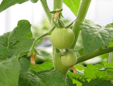 Baby-tomato
